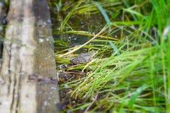 大青蛙绿色 免版税图库摄影