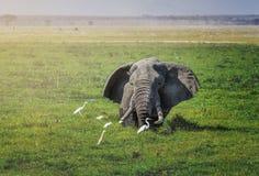 大非洲大象在国家公园Amboseli -肯尼亚 免版税库存图片