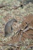 大非洲猫鼬 库存照片