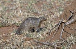 大非洲猫鼬 库存图片