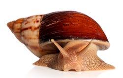 大非洲蜗牛Achatina fulica爬行 免版税库存图片