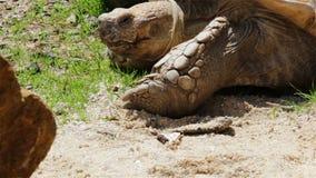 大非洲被激励的草龟,在headgrass的细节在水中曲折前进 股票视频