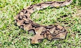 大非洲人Gaboon蛇蝎蛇& x28;bitis gabonica rhinoceros& x29;  En 免版税库存照片