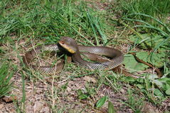 大鞭蛇(Dolichophis caspius) 免版税库存图片