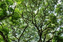 大顶上树树和的分支  免版税库存照片