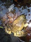 大飞溅青蛙 库存图片