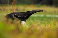 大食蚁兽,食蚁兽属tridactyla、动物在有长尾巴的自然栖所和非常日志鼻子,潘塔纳尔湿地,巴西 免版税库存图片