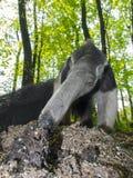 大食蚁兽(食蚁兽属tridactyla)吃蚂蚁 免版税库存图片