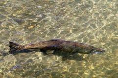 大马哈鱼在河 库存图片