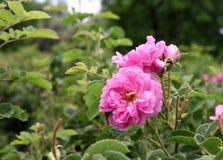 大马士革桃红色玫瑰 免版税库存图片