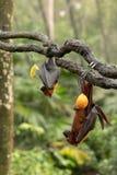 大马来亚果蝠,狐蝠属vampyrus,垂悬从分支的棒 库存照片