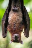大马来亚果蝠 免版税库存图片