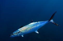 大马鲛鱼鱼鲭鱼 免版税库存图片