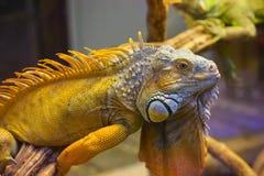 大鬣鳞蜥蜥蜴玻璃容器 库存图片