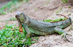 大鬣鳞蜥 库存图片