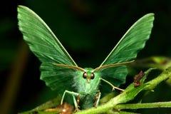 大鲜绿色飞蛾(Geometra papilionaria) 库存照片