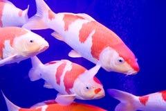 大鲤鱼五颜六色的koi 图库摄影