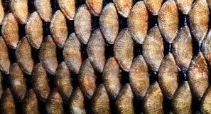 大鲤鱼鱼被构造的皮肤称宏观看法 照片金黄鳞状织地不很细样式 选择聚焦,浅深度领域 库存图片