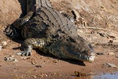 大鳄鱼休息的河边区Chobe博茨瓦纳非洲 库存照片