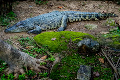 大鳄鱼在动物园里 免版税图库摄影