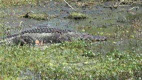 大鳄鱼在沼泽走 股票录像