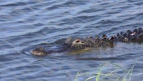 大鳄鱼在湖游泳 股票视频