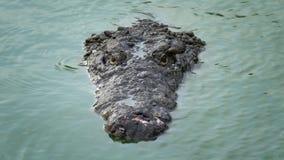 大鳄鱼在狩猎游泳并且等待 股票录像