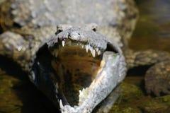 大鳄鱼在肯尼亚的国家公园 免版税库存照片