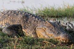 大鳄鱼在非洲 库存照片