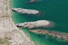 大鳄鱼在水中 库存照片