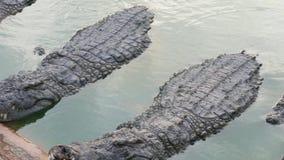 大鳄鱼有休息在河岸 股票录像