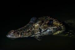 黑大鳄鱼秘鲁亚马逊密林马德雷德迪奥斯秘鲁 免版税库存图片
