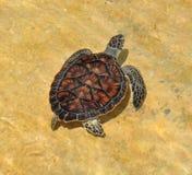 大鳄鱼绿色海岛海龟 免版税图库摄影