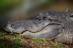 大鳄鱼画象 图库摄影