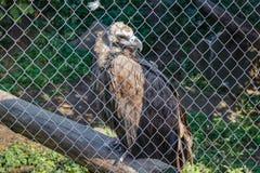 大鸟兀鹫欺骗在笼子的fulvus 免版税库存图片