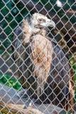 大鸟兀鹫欺骗在笼子的fulvus 库存照片