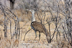 大鸨鸟, Ardeotis kori,在埃托沙国家公园,纳米比亚 免版税库存照片