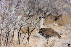 大鸨鸟, Ardeotis kori,在灌木纳米比亚 图库摄影