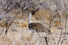 大鸨鸟, Ardeotis kori,在灌木纳米比亚 免版税库存照片