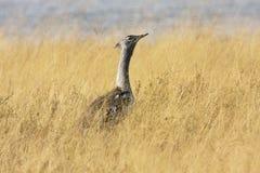 大鸨鸟, Ardeotis kori,在Bwabwata国家公园,纳米比亚 免版税库存图片