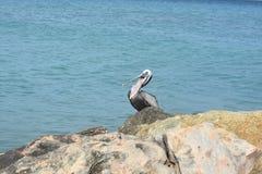 大鹈鹕的热带观鸟照片 免版税库存图片