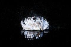大鹈鹕 图库摄影