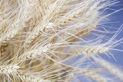 大麦五谷特写镜头为面粉大麦面包大麦啤酒使用一些威士忌酒一些伏特加酒和动物饲料 库存图片