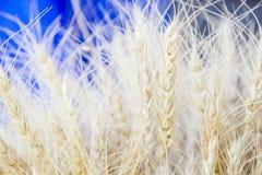 大麦五谷特写镜头为面粉大麦面包大麦啤酒使用一些威士忌酒一些伏特加酒和动物饲料 图库摄影