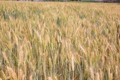 大麦农厂背景 免版税库存照片