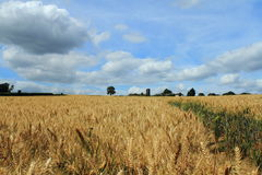 大麦农场 免版税库存图片