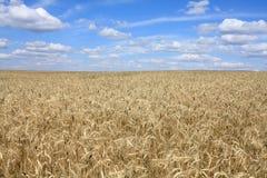 大麦域横向 库存图片