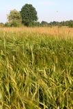 大麦域金黄麦子 谷物 风景 库存照片