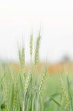 大麦域金黄麦子 库存照片