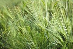 大麦域金黄麦子 库存图片